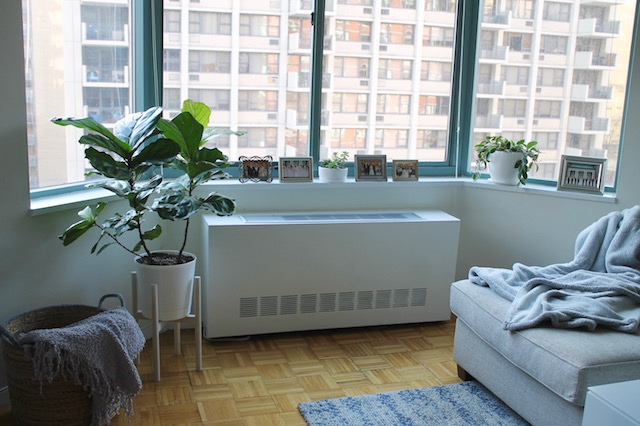 NYC apartment with Bay Windows, Fiddle Leaf Fig Tree