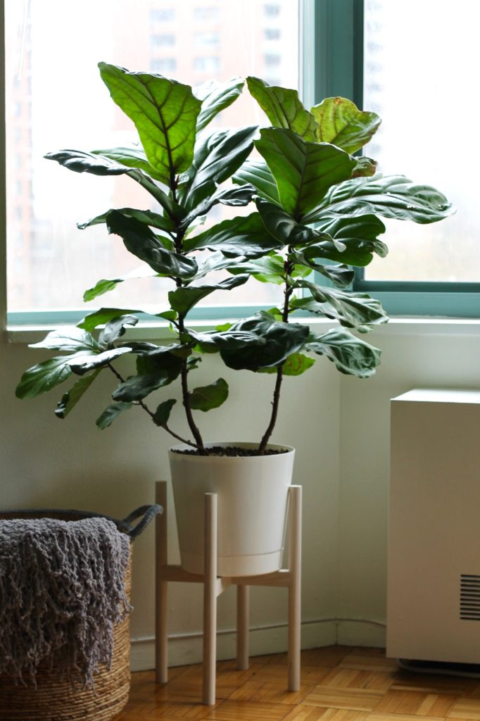 Fiddle Leaf Fig Tree in a White Pot Little Chef Big Appetite